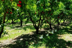 frutteto_anatre_3-agriturismo-la-colombara-gaium